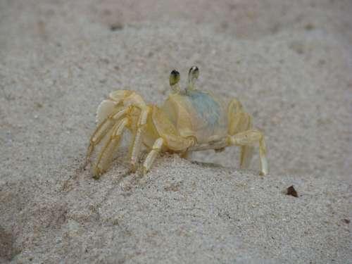 Crab Siri Beach Sand Mar