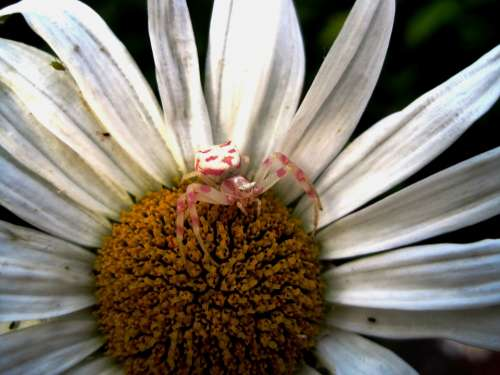 Crab Spider Pink And White Small Arachne Daisy