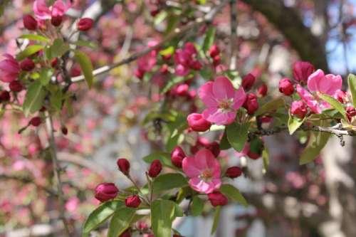 Crabapple Pink Tree Flowering Flower Spring