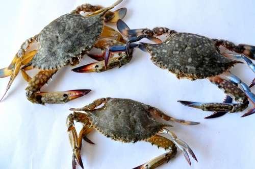 Crabs Sea Food Seafood Crustacean Shell Fresh