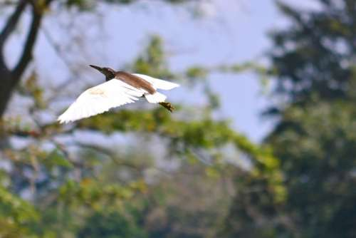 Crane Flying Wings Bird Wildlife Sri Lanka