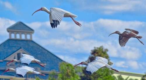 Cranes Birds Flying Grus Canadensis Florida Park