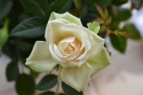 Cream Rose Perfect Bloom Flower Rose Perennial