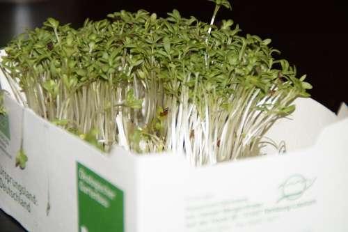 Cress Fresh Grow Vitamins Healthy Food Eat