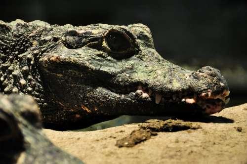 Crocodile Alligator Crocodiles Reptile Predator