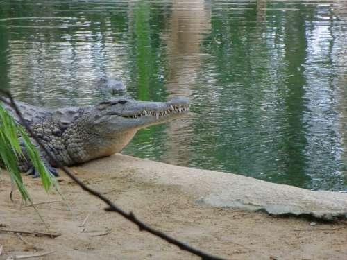 Crocodile Water Landscape