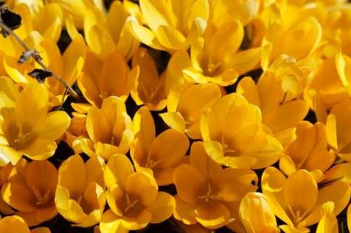 Crocus Blütenmeer Spring Flowers Bloom Yellow