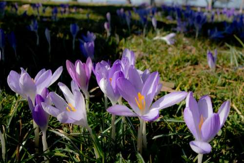 Crocus Spring Blossom Bloom Flowers Meadow Summer