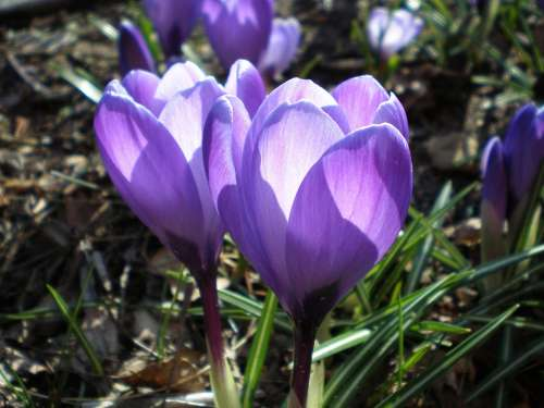 Crocus Purple Spring Backlighting Close Up Plant