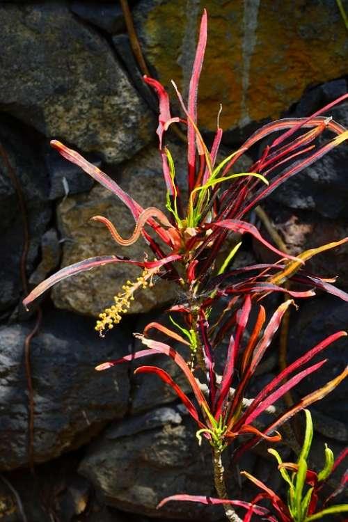 Croton Plant Tropical Exotic Codiaeum Variegatum