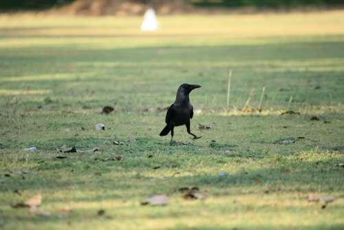 Crow Raven Bird Black Grass Walking Nature