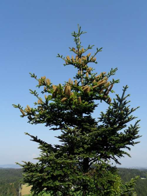 Crown Fir Tree Pine Cones
