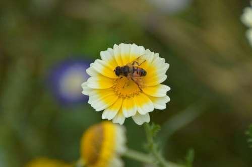 Crown Marigold Flower Garden Blossom Bloom Bee
