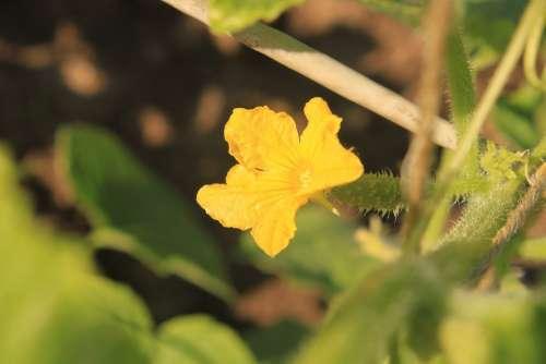 Cucumber Female Flowers Male Yellow Plants