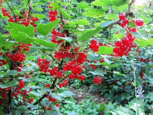 Currant Berry Fruit Summer