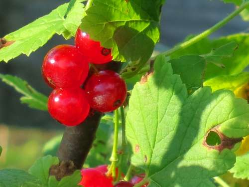 Currant Red Berries Fruit Plant