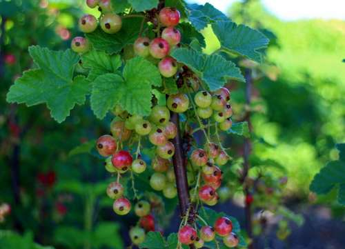 Currants Ribes Gooseberry Greenhouse Currant Red