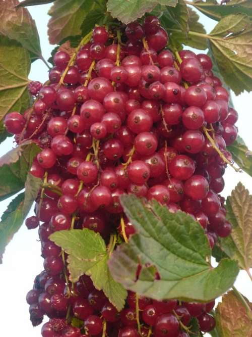 Currants Fruit Plant Sour Sweet Red Healthy Eat