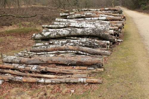 Cut The Logs Stacked Birch Forestry Work Sawed Off