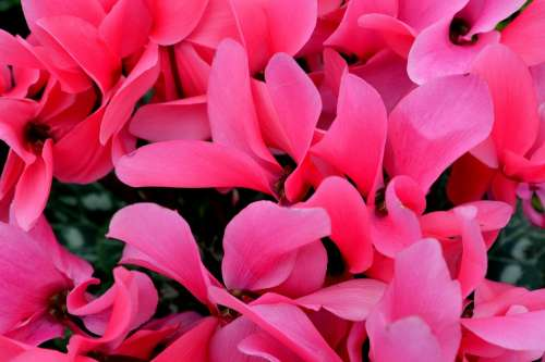 Cyclamen Flower Pink Nature Flora Plant