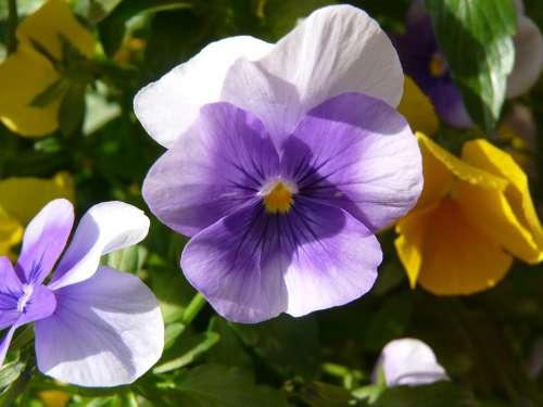 Cyclamen Violet Blossom Bloom Flower Nature