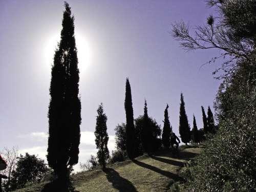Cypress Trees Backlight