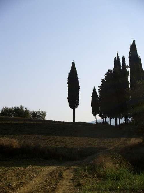 Cypress Tuscany Italy