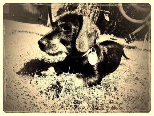Dachshund Vintage Dog Black Brown Fur Animal