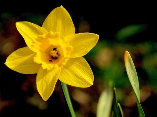 Daffodil Narcissus Flower Blossom Bloom Yellow