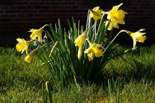 Daffodils Osterglocken Narcissus Pseudonarcissus