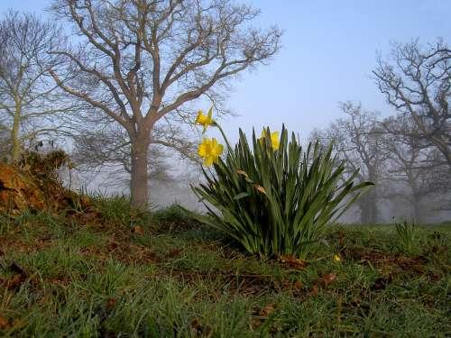 Daffodils Yellow Flowers Trees Grass Field