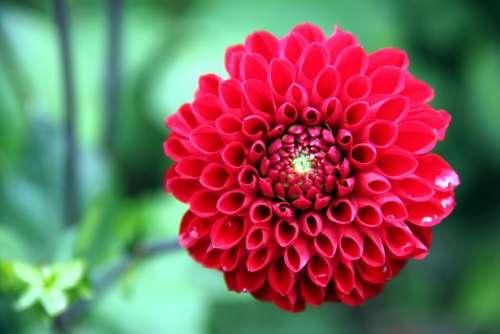 Dahlia Flower Plant Blossom Bloom Bloom Red