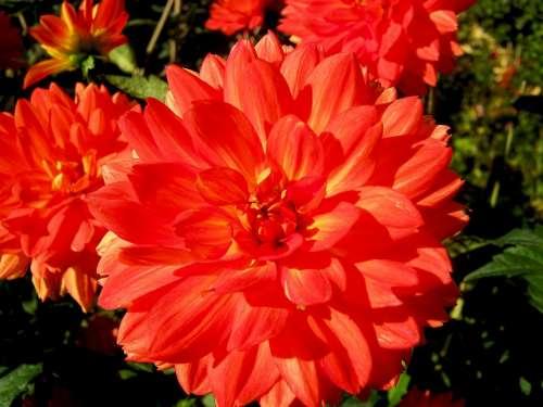 Dahlia Flowers Red