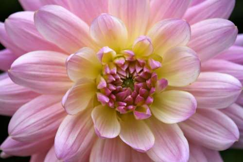 Dahlia Flower Macro Close Up Rose Yellow