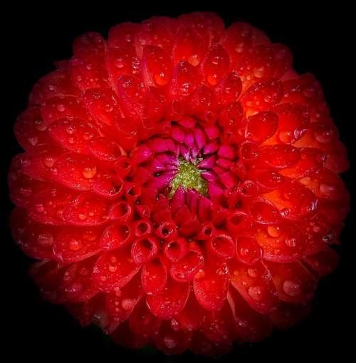 Dahlia Red Flower Closeup Close-Up Freshness