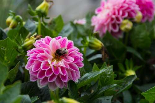 Dahlia Flower Plant Garden Perk Bumblebee