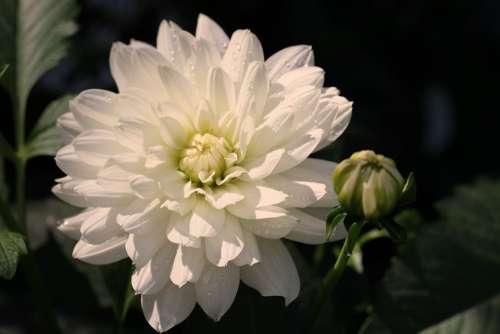Dahlia White Blossom Bloom Flower Dahlia Garden