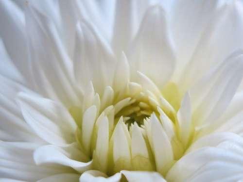 Dahlia Blossom Bloom White Innocence Open Center