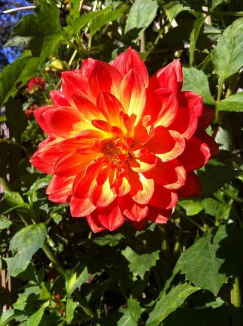 Dahlia Flower Red Bloom Autumn Flower Garden