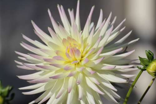 Dahlia Blossom Bloom Dahlia Garden Composites
