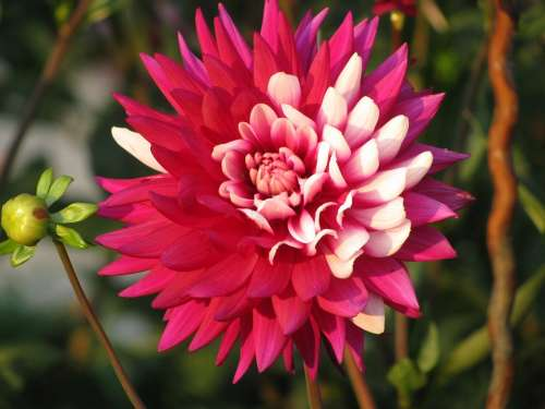 Dahlia Orange Red Autumn Garden Nature Flower