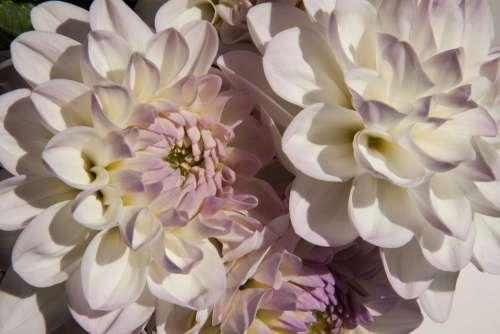 Dahlias Dahlia Geothermal Plant Composites White