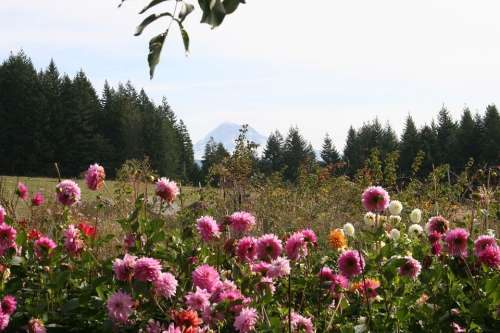 Dahlias Mt Hood Leaves Plant Flowers Pink Yellow