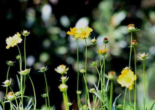 Daisies Yellow Stems Upright Long Garden