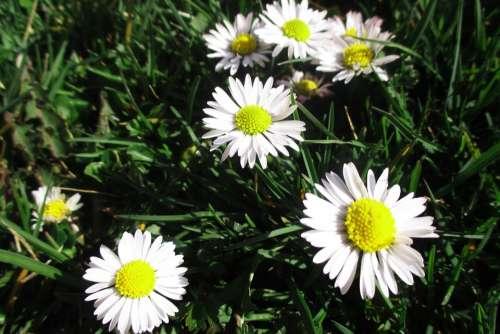 Daisies Flower Nature