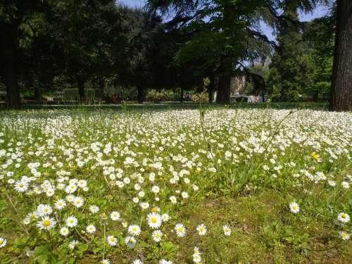 Daisies Prato Green Spring Flower Park Garden
