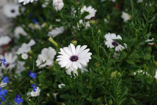 Daisies White Flowers Blossom Garden