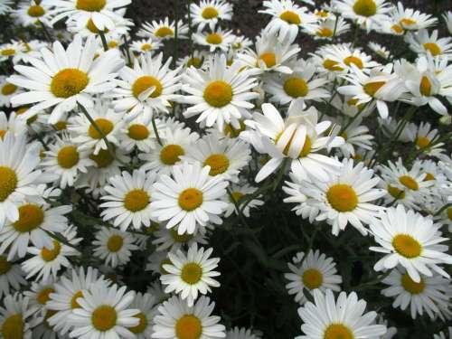 Daisies Flowers Garden Plant Schnittblume White