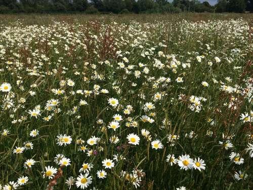 Daisies Field Flowers Oxeye Daisies Ox-Eye Daisies