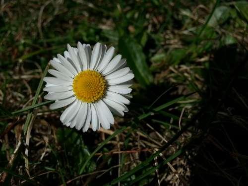 Daisy Plant Flower Flowers White
